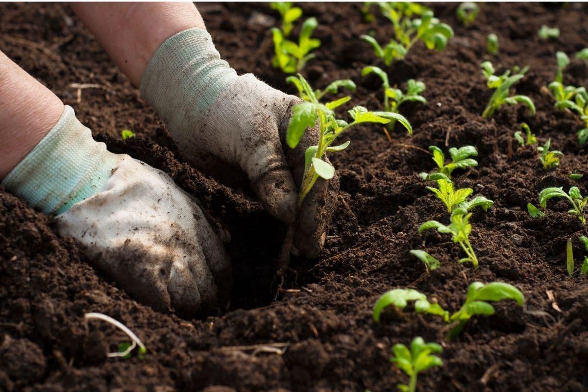 transplanting seedling in the garden