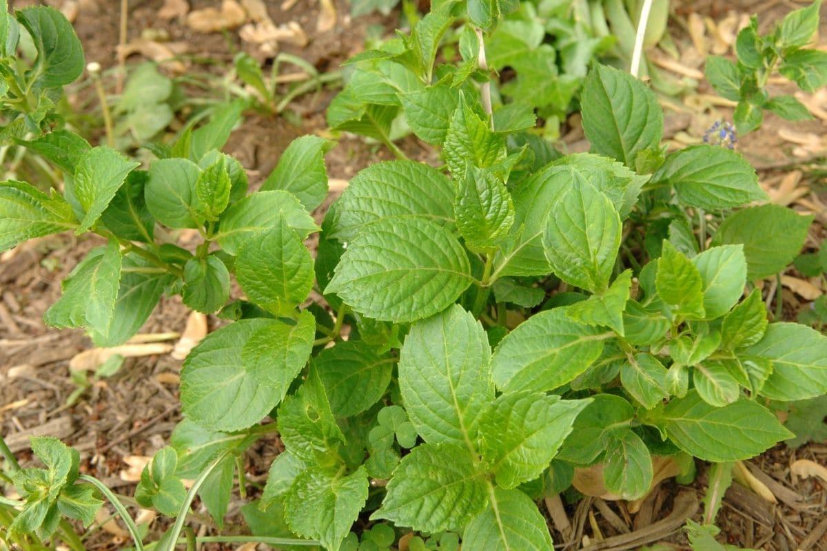 hydrangea plant in the garden