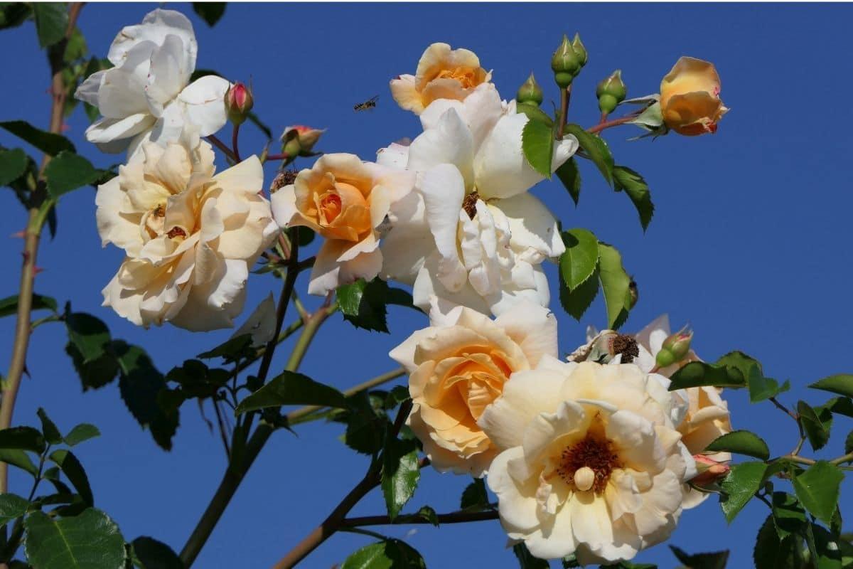 white rose in the garden against the blue sky