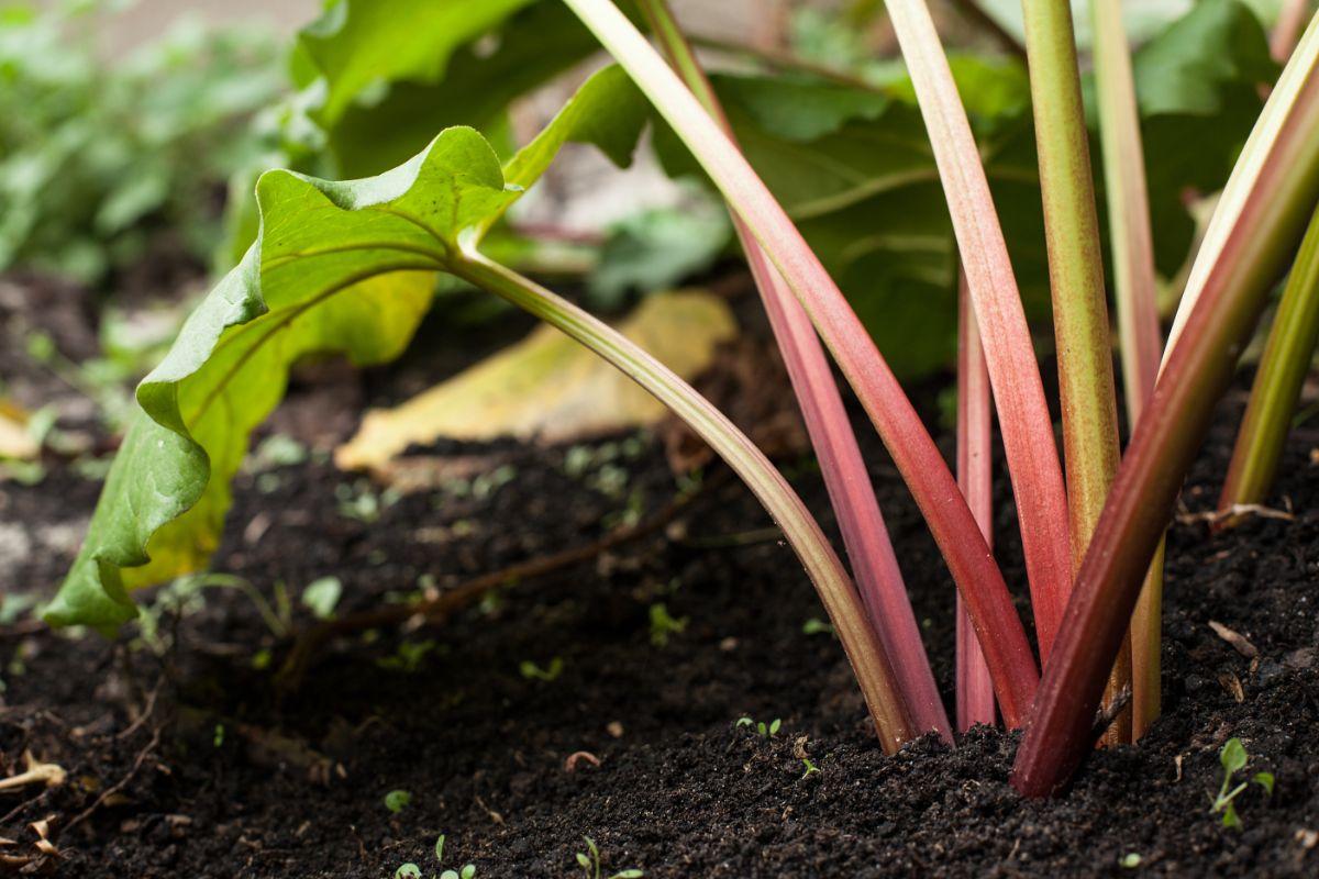 rhubarb plant growing in a heathy soil in the garden