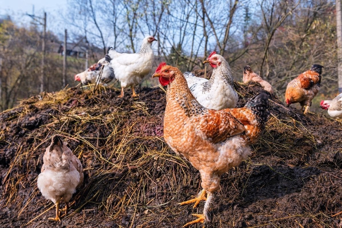 flock of chicken in the pile of chicken manure