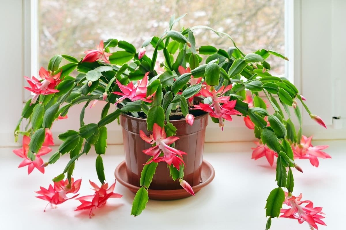 Christmas cactus with claw-like leaves and asymmetrical flowers in pink color in a pot placed beside the window