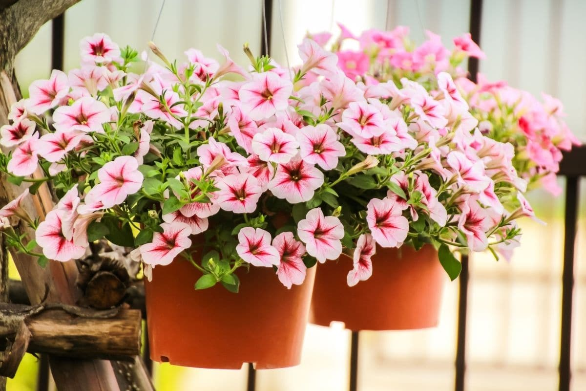 Petunias in a hanging pot by the fence