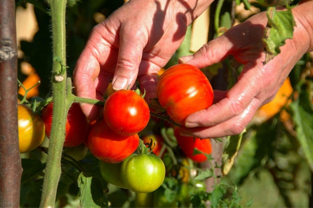 harvesting tomatoes in the garden