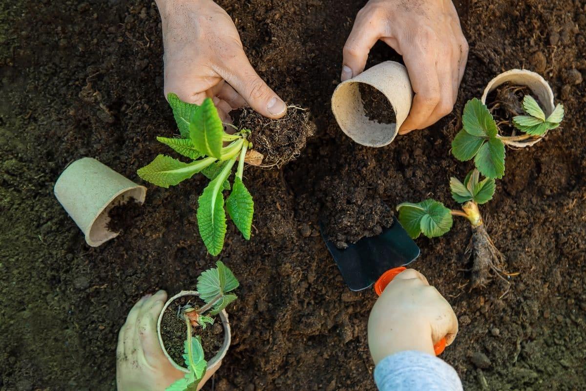 planting seedling in the garden, replanting seedlings in the garden