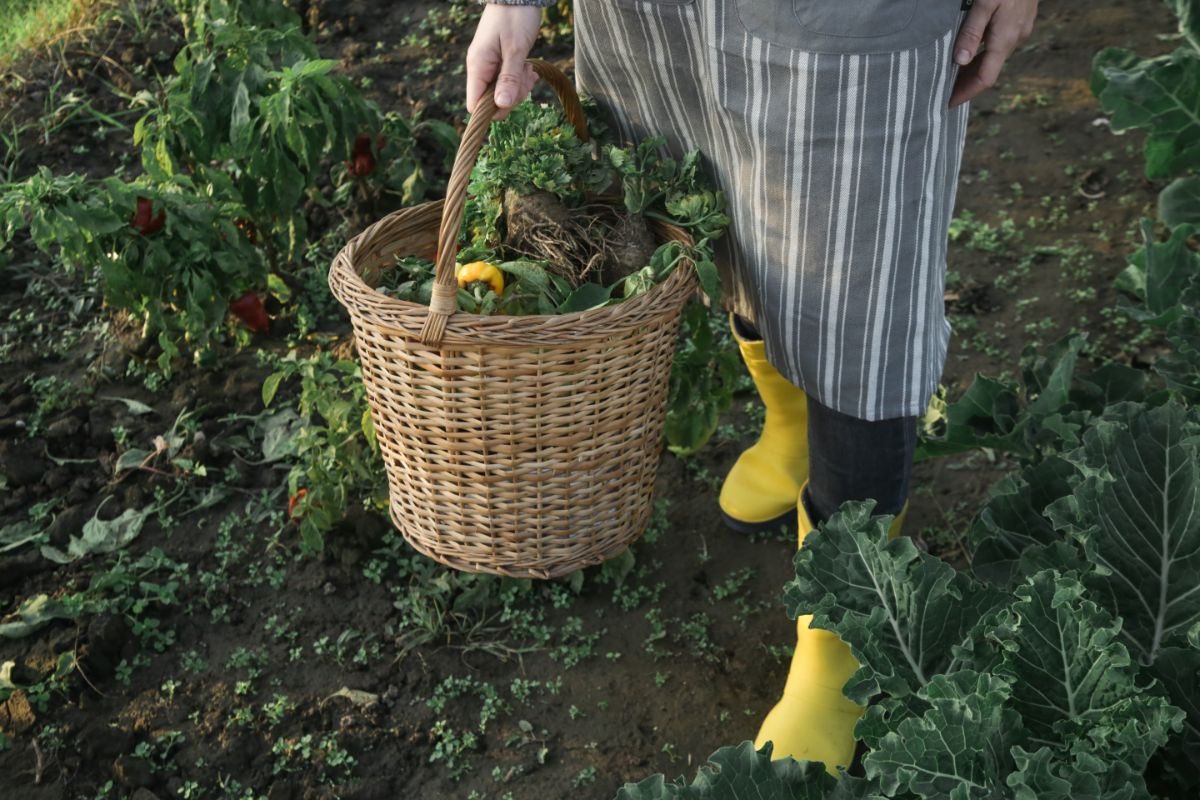 holding a basket full of harvested vegetables in the garden walkway