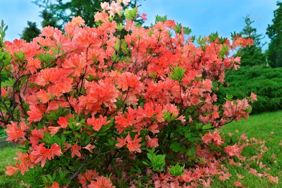 Rhododendron, and evergreen shrub with beautiful orange flowers and shiny green leaves in the garden