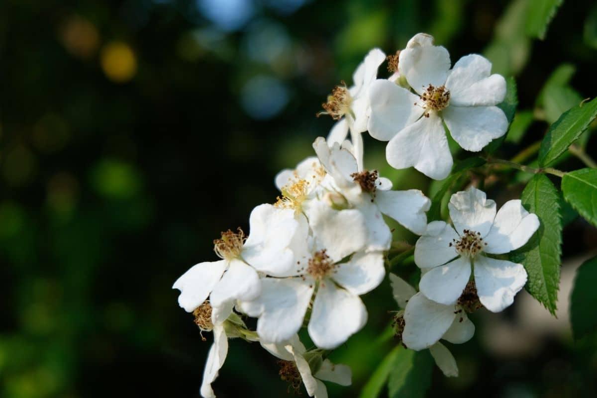 white flower of dogwood shrub in the garden