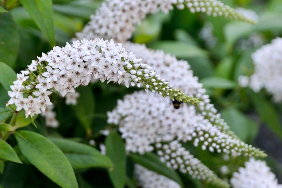 white butterfly bush also known as buddleria davidii in the garden