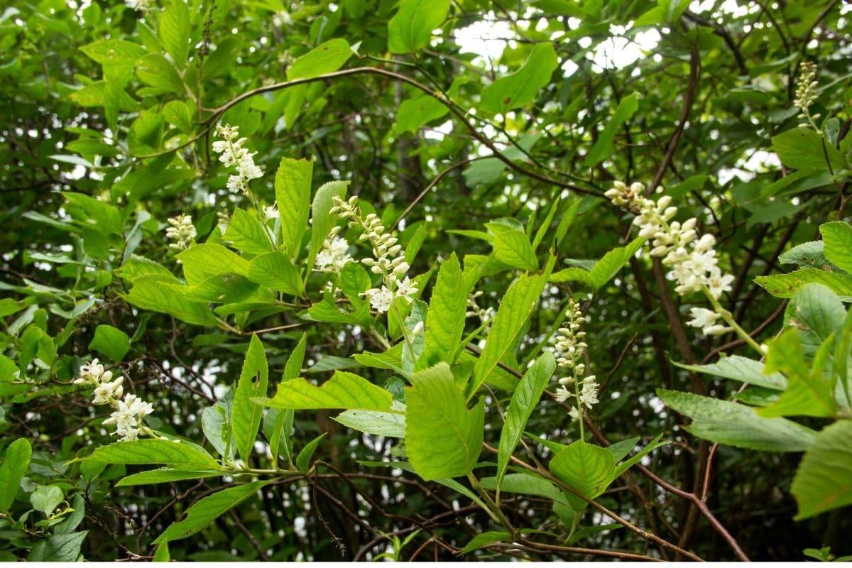 Summersweet Clethra or sweet pepperbush in the garden