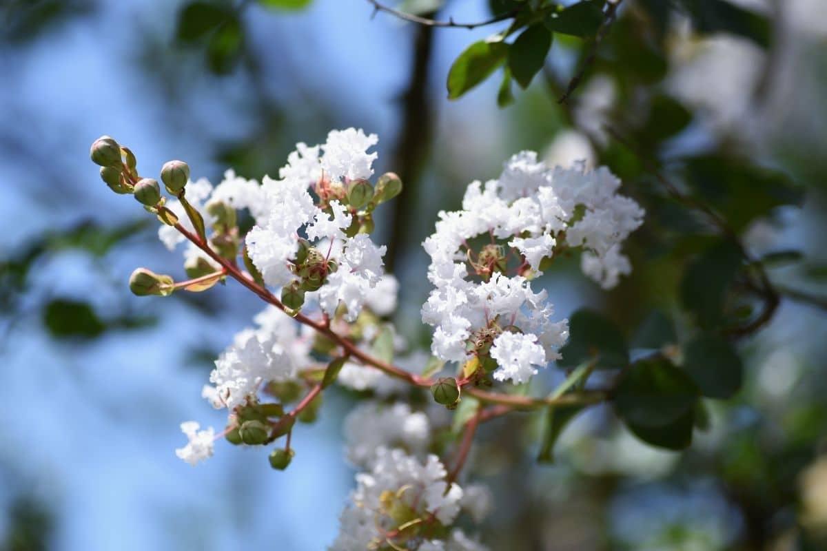 white flowers of Crape Myrtle bush