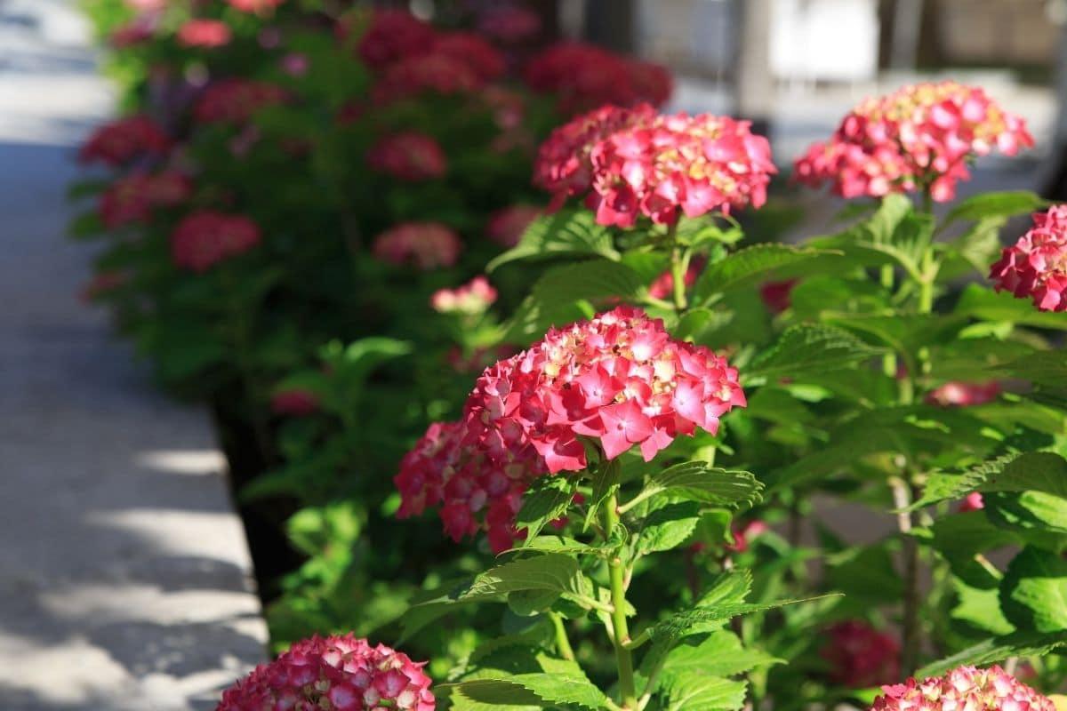 pink hydrangeas by the hallway in the garden