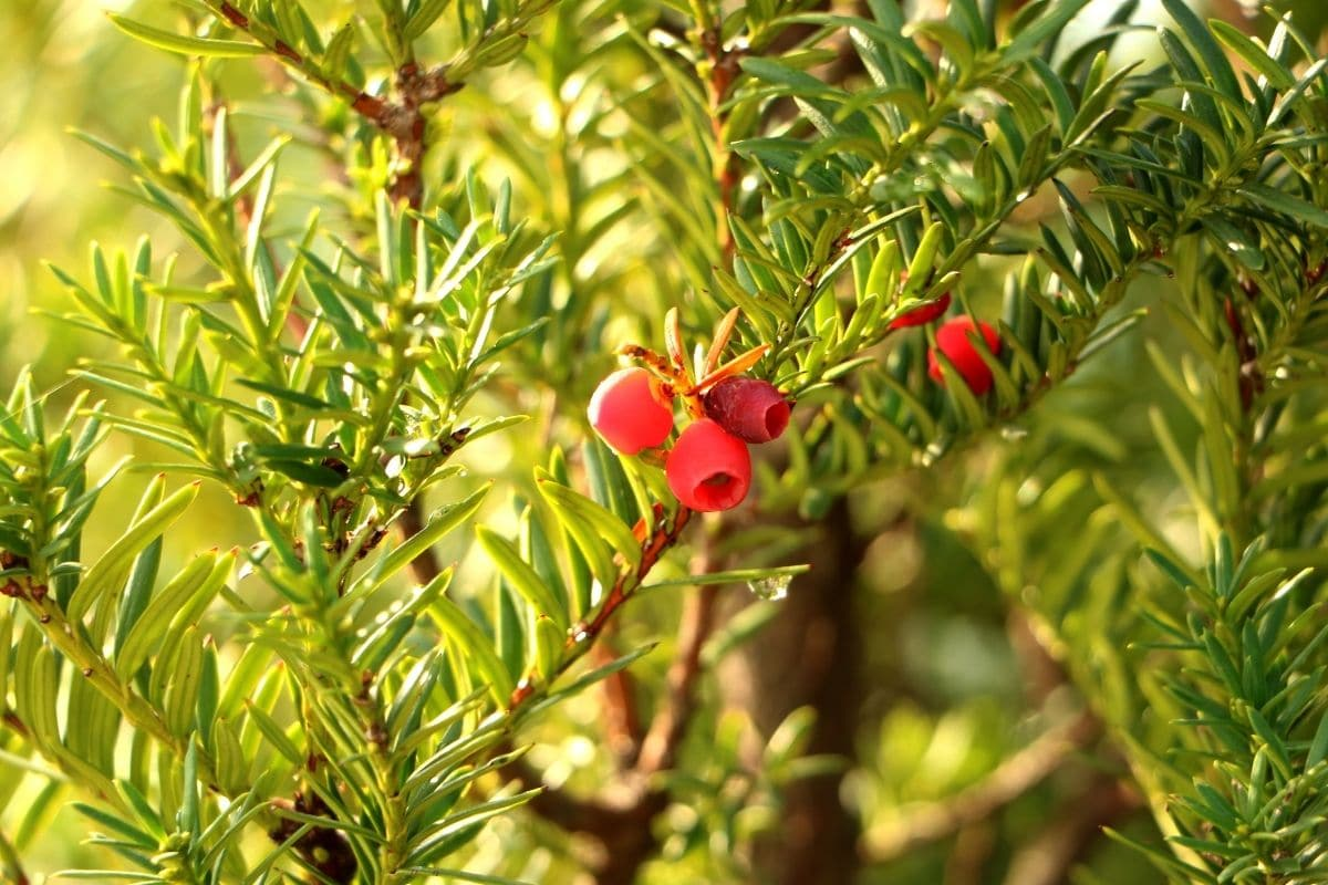Branch of Yew evergreen shrub
