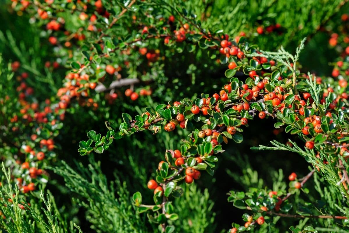 Cotoneaster shrub with dark green foliage and red berries in the garden