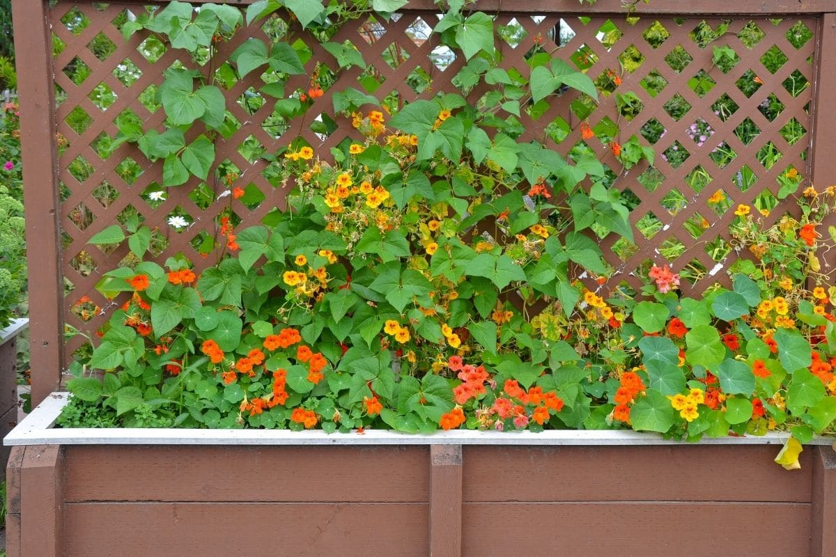 Nasturiums growing in a garden bed with trellis