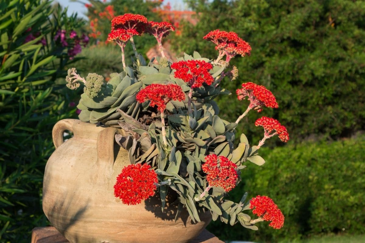 Propeller Plant or Crassula Falcata with attractive red flowers in a big flower pot in the garden