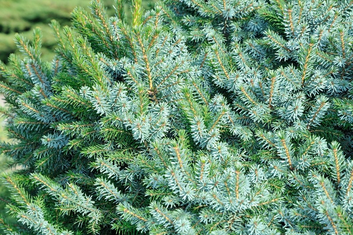 spruce shrub or tree, an accent plant in the garden