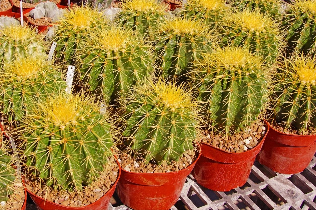 lined up small barrel cactus in red pots