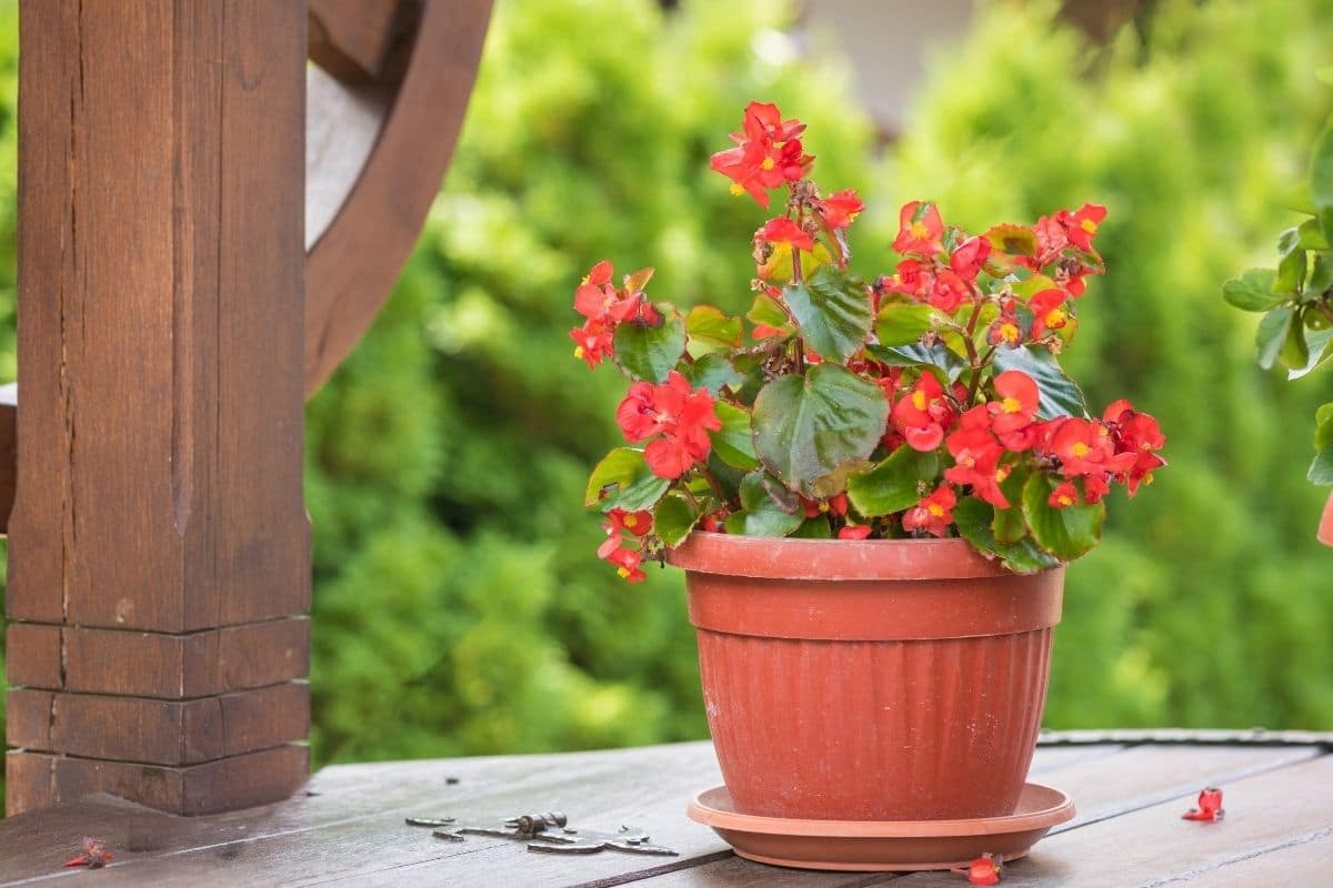 Red euphorbia flower in pot in the backyard garden placed in a table