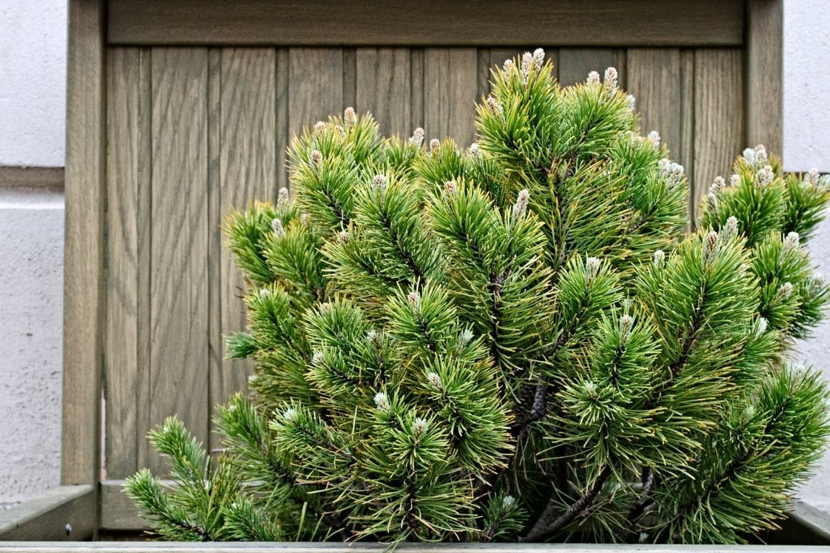Fir evergreen shrub growing in a wooden container in the garden