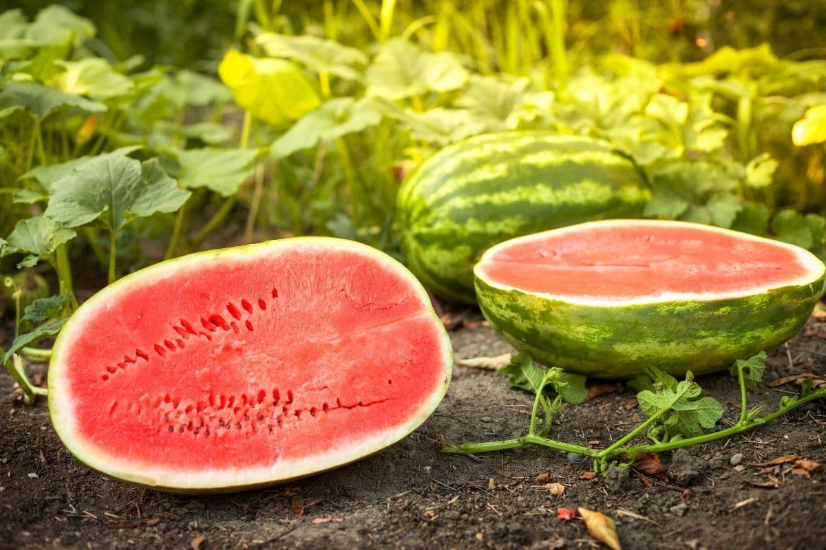 Allsweet variety of watermelon cut into have in the garden ground
