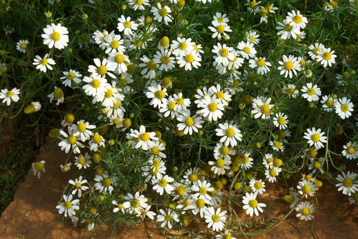 chamonile flowers herb bush blooming in the garden