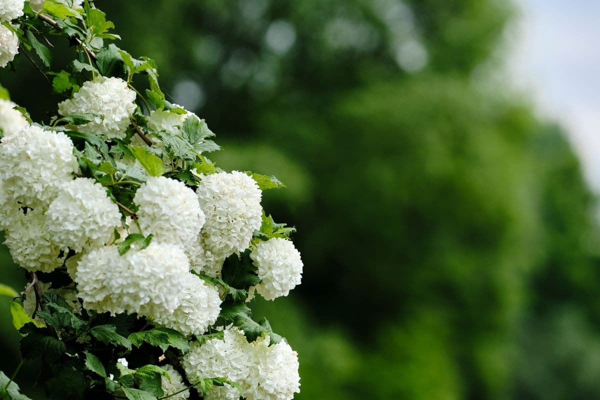 Chinese Snowball Viburnum with large ball of white flowers blooming in the garden