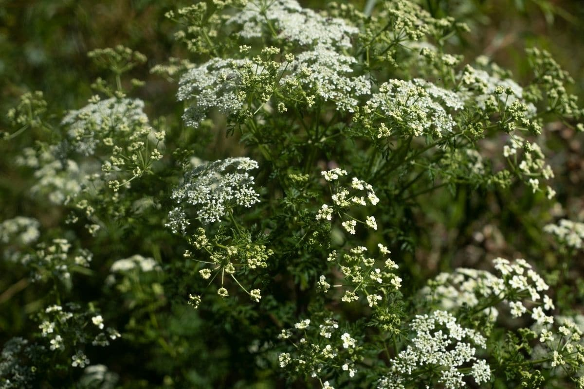 Hemlock shrub or a tree, with white flowers in the garden