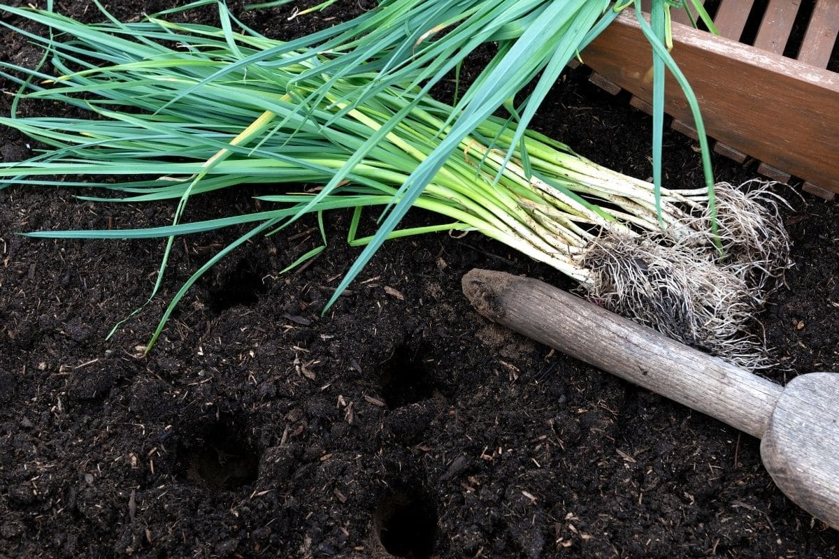 leeks ready to be transplanted in the garden bed