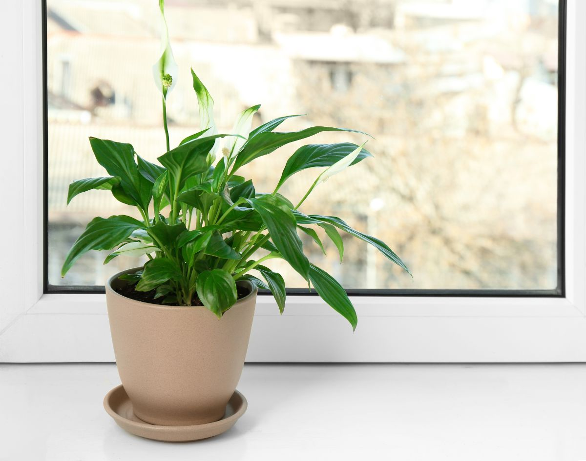 Peace Lilies in a brown pot by the office window