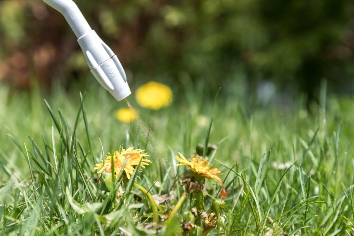spraying Pre-emergent herbicide to get rid of weeds in the lawn or garden