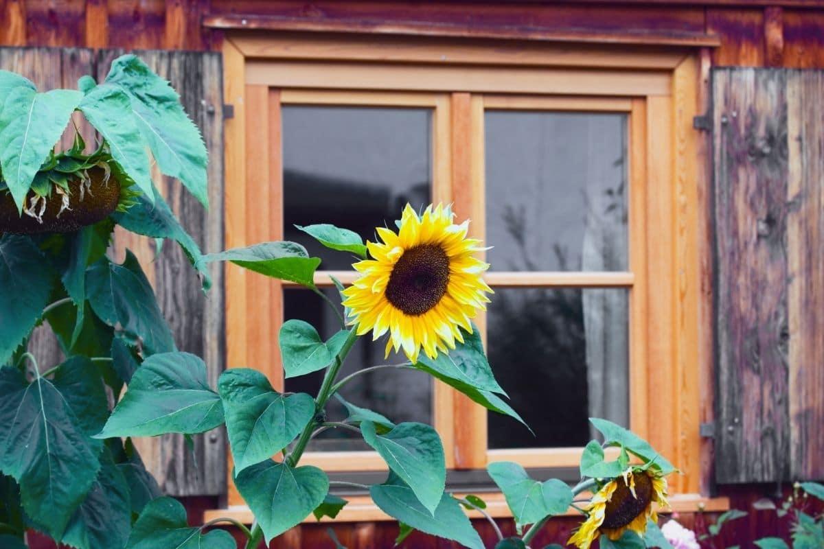 sunflower in the backyard garden by the window