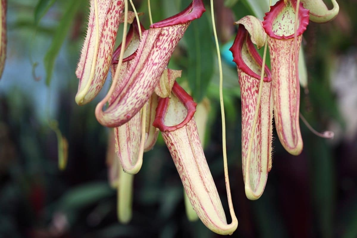 Tropical Pitcher Plant hanging in the garden