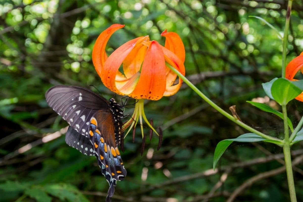 Turk's Cap Lilies with butterfly in the garden