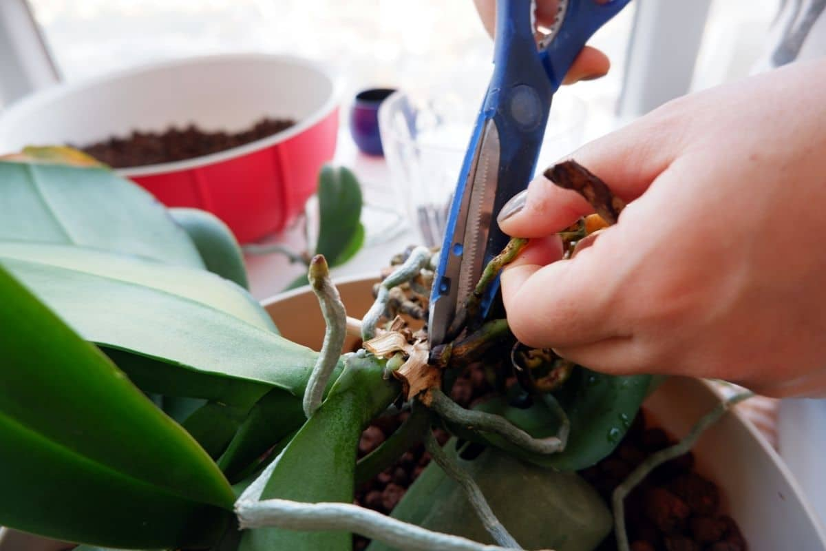 cutting the bad roots of the orchid plant