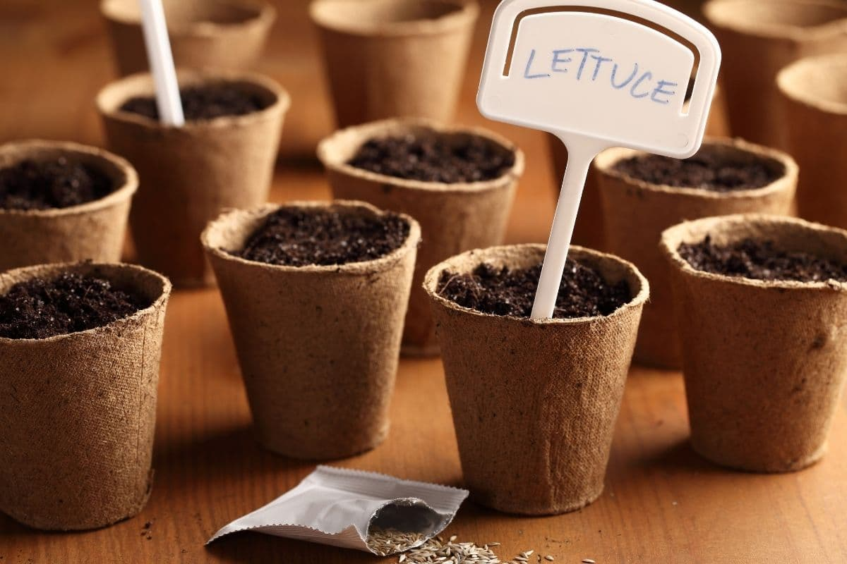 germinating lettuce seeds in a biodegradable cups indoors