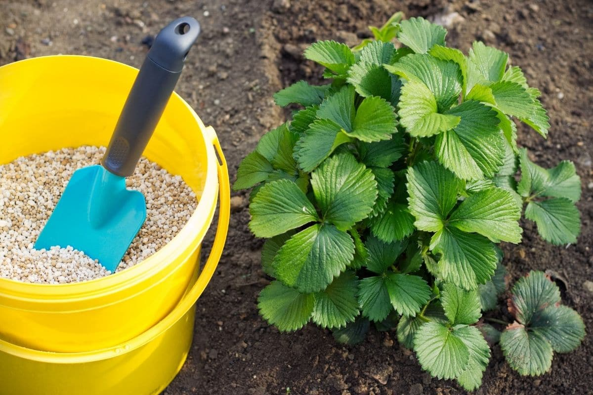 plant with a bucket of fertilizer in the garden