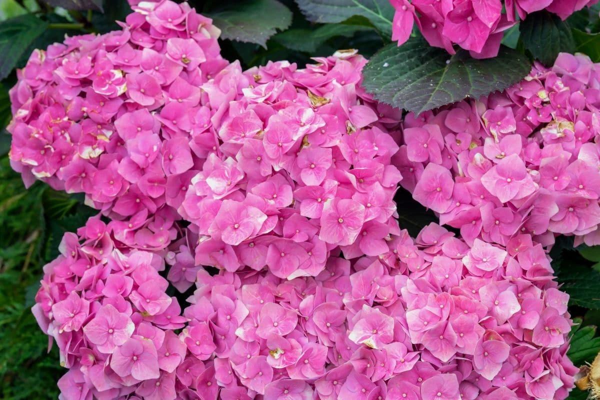 Pink Hydrangeas blooming in the garden in summer
