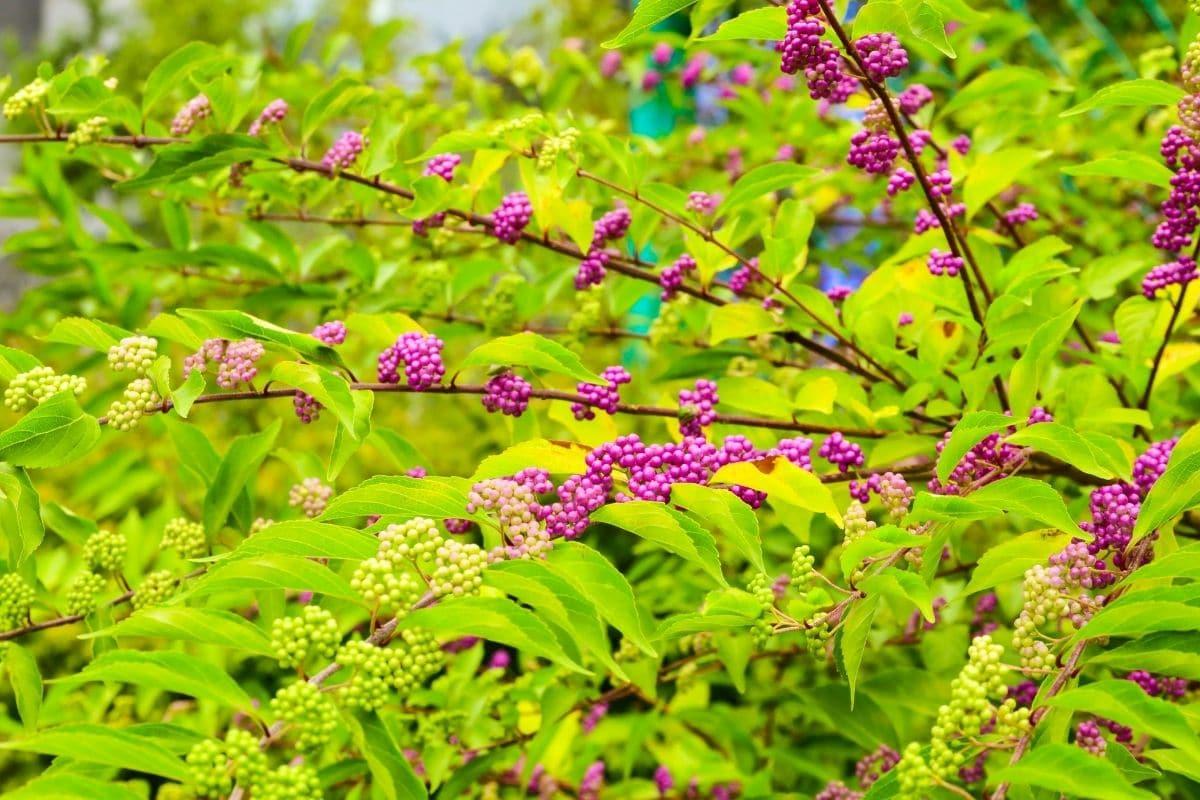 American beautyberry bush in the garden