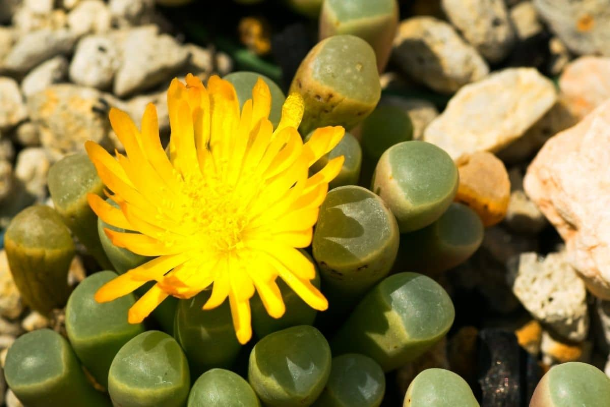 Baby toes or Fenestrania Rhopalophylla with yellow flowers growing in the garden