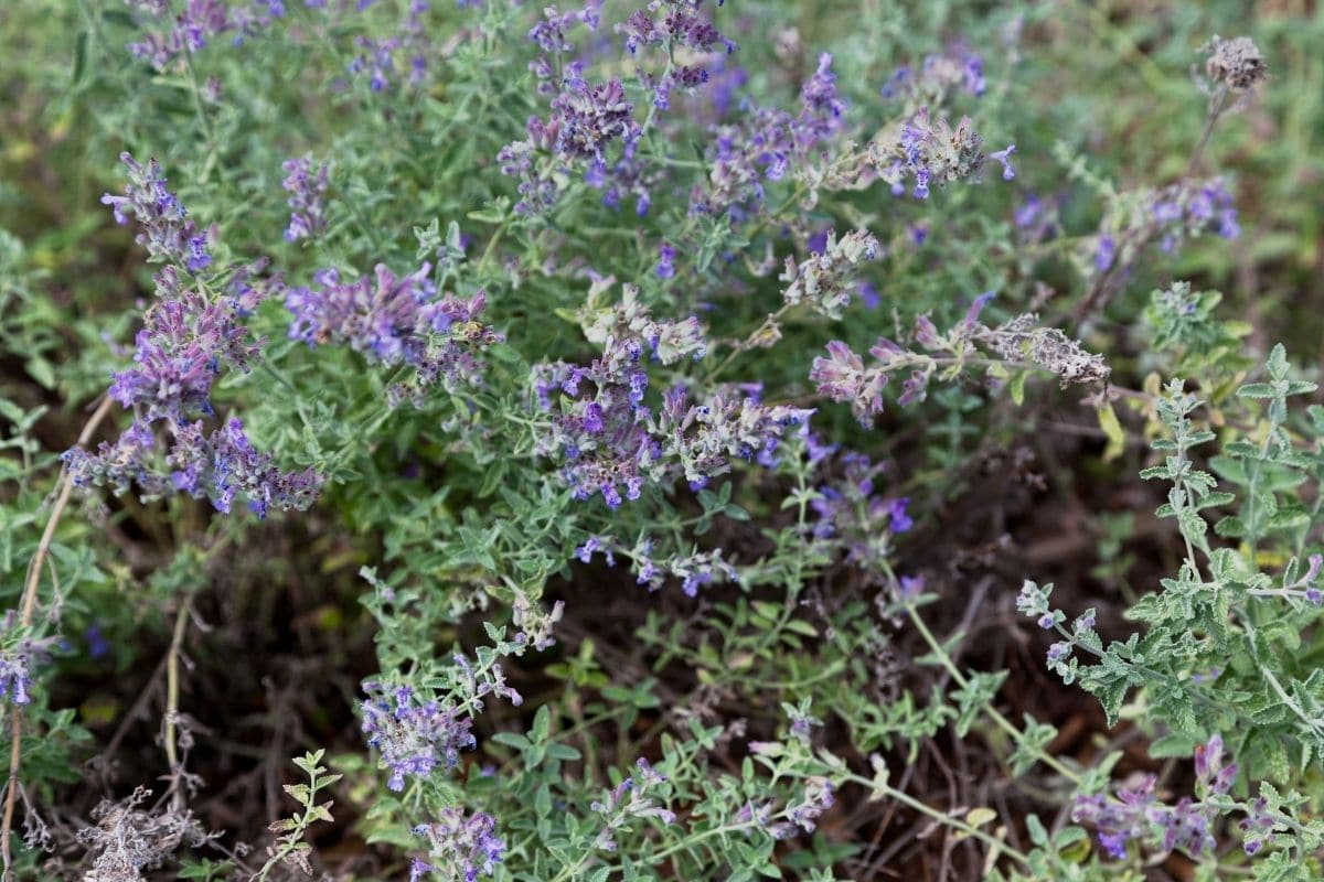 Catmint herb in the garden