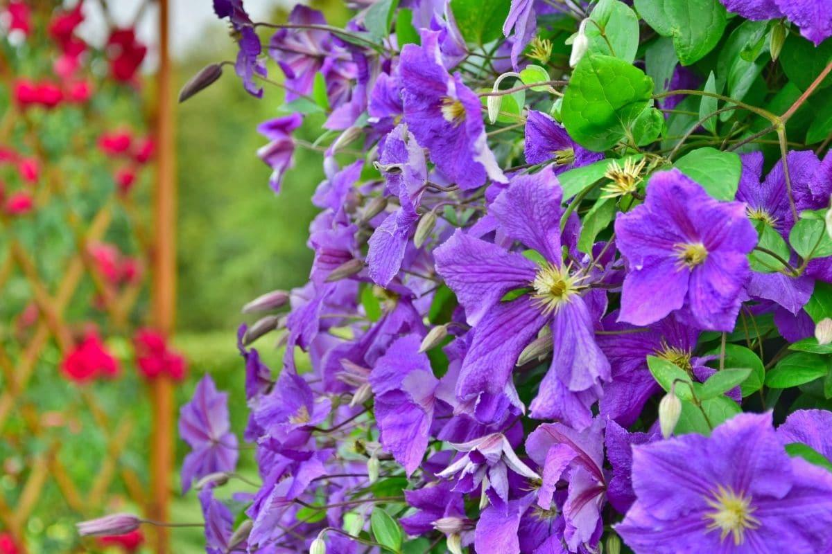 clematis flowers in a trellis in the flower garden
