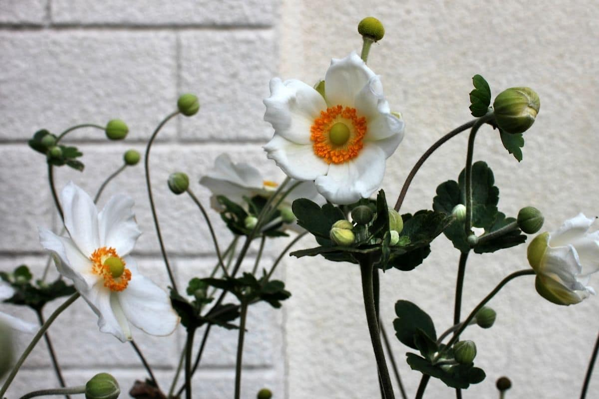 Anemone by the white brick wall