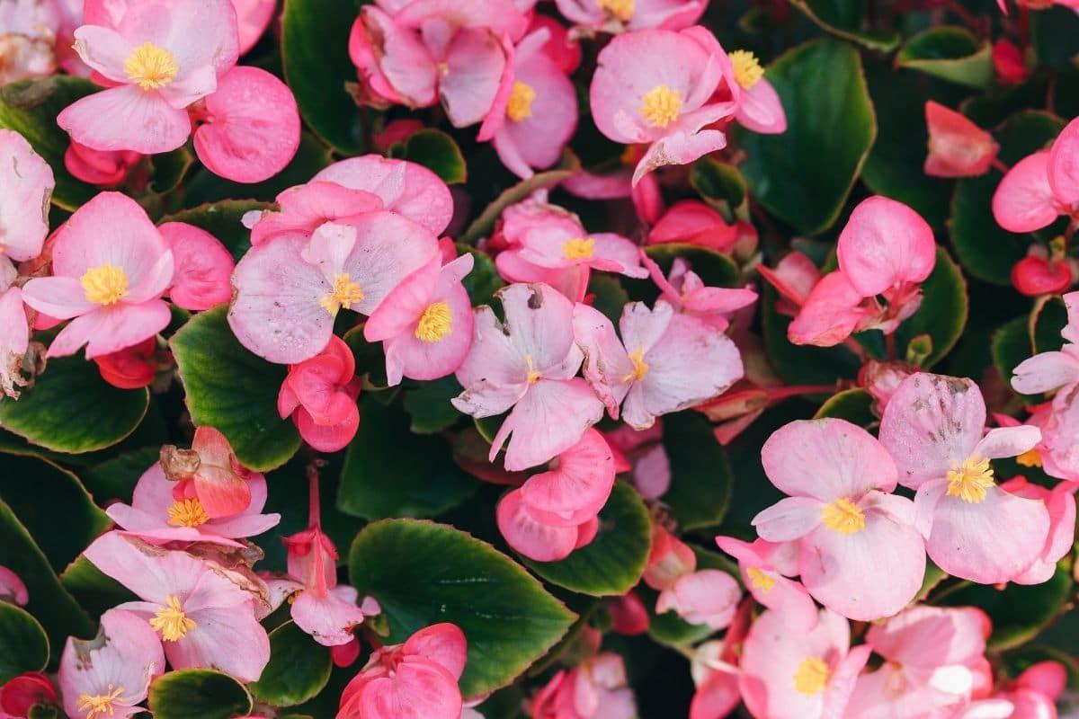wax begonia flowers in the garden