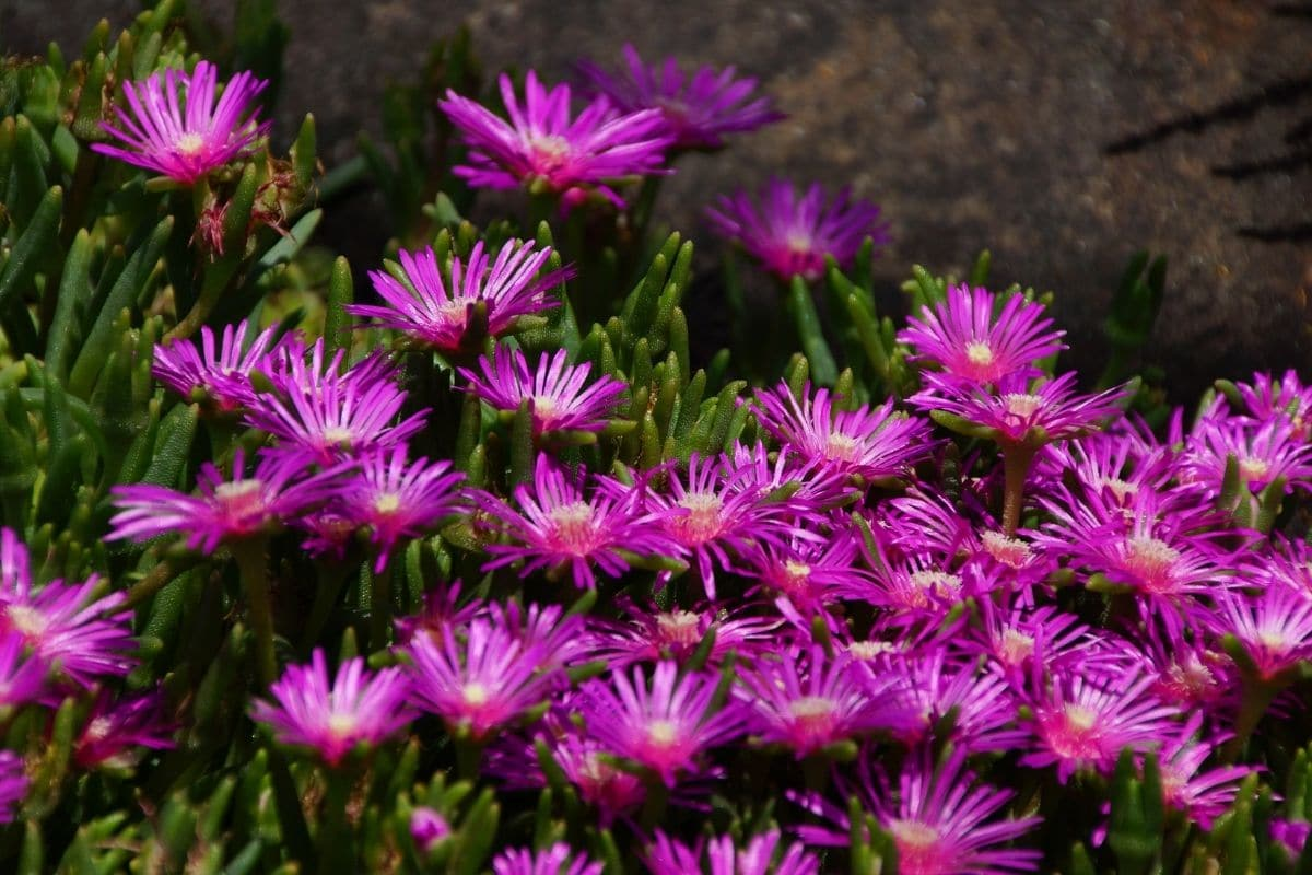 Ice plant flowers blooming outdoors