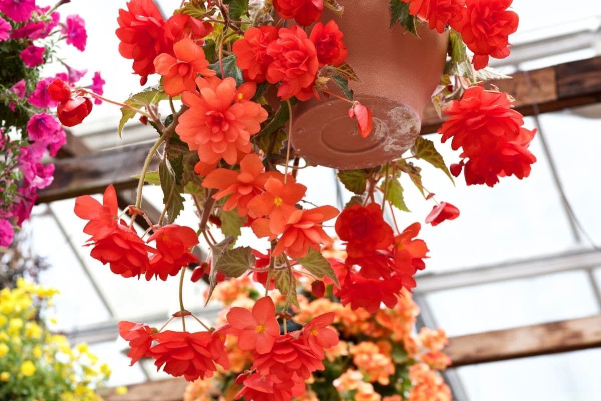 red beautiful begonia flowers in a hanging pot in the greenhouse