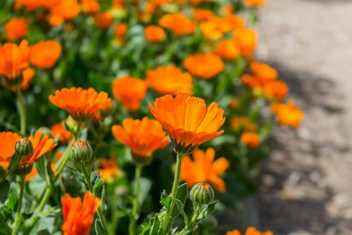 pot marigold, also known as pot marigold, blooming along the garden hallway