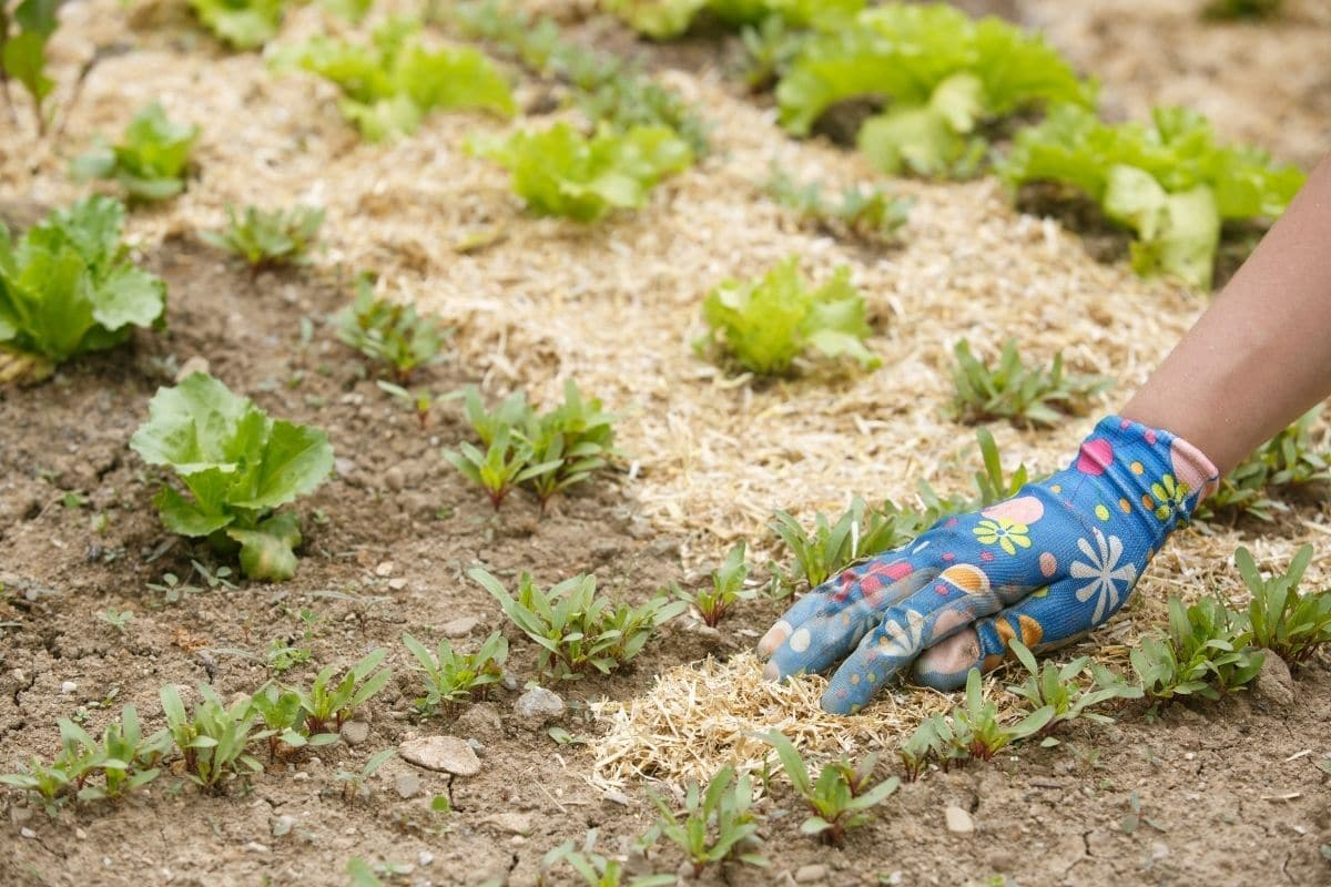 covering soil with mulch in the vegetable garden bed