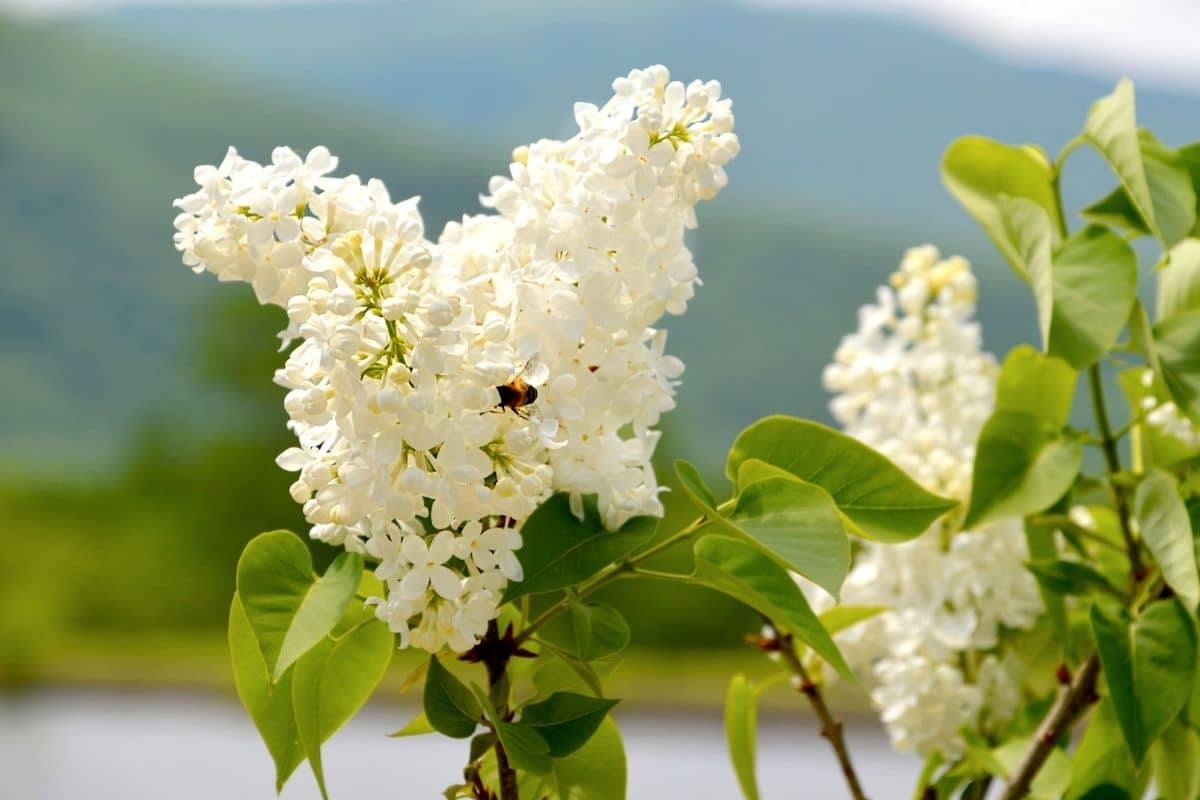 white Common Lilac with a mountain background