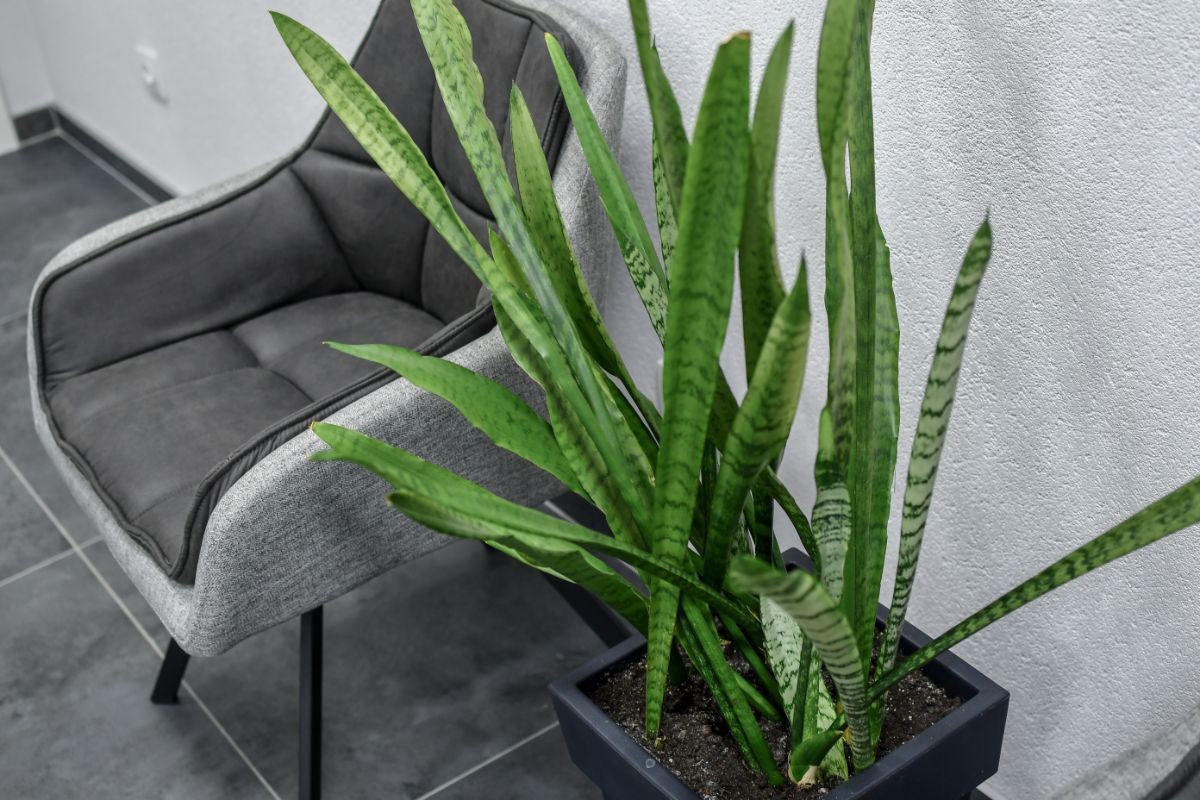 Snake Plants beside the cozy chair in the office